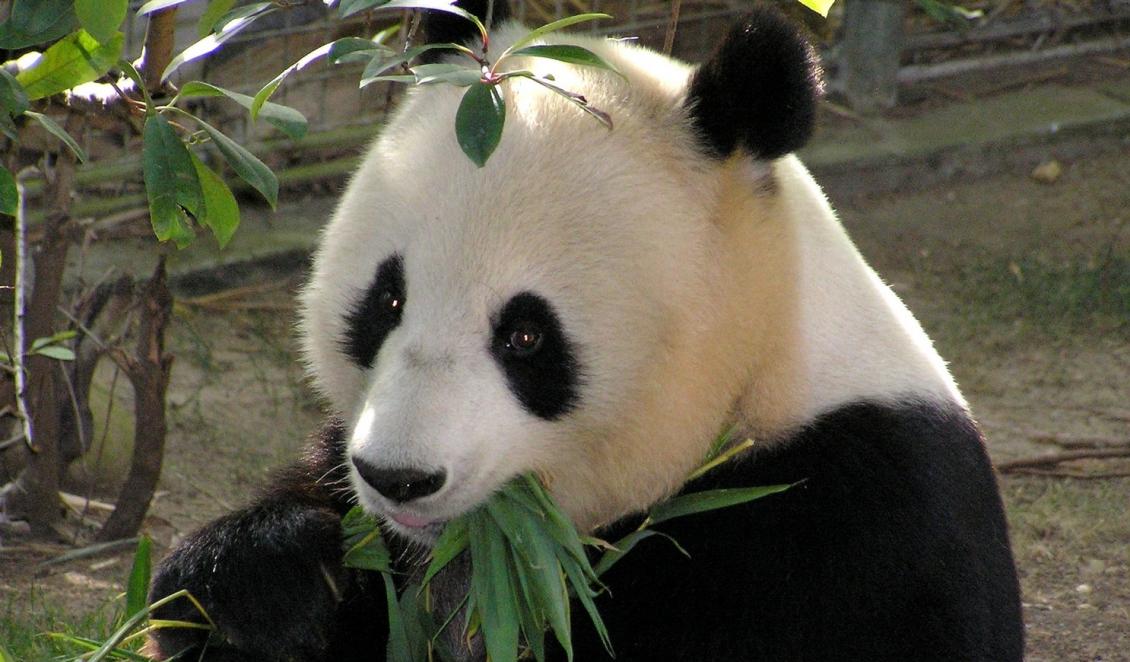 Pandabaren Population In China Erholt Sich Umweltnetz Schweiz