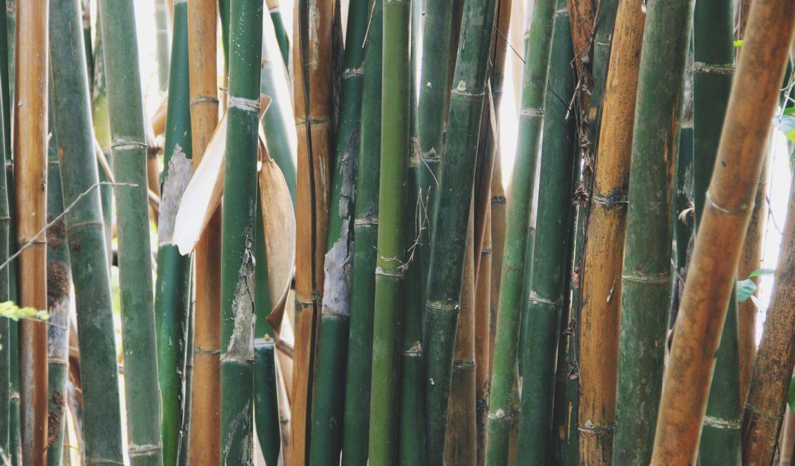 Bambus Wächst Unter Anderem In Thailand.