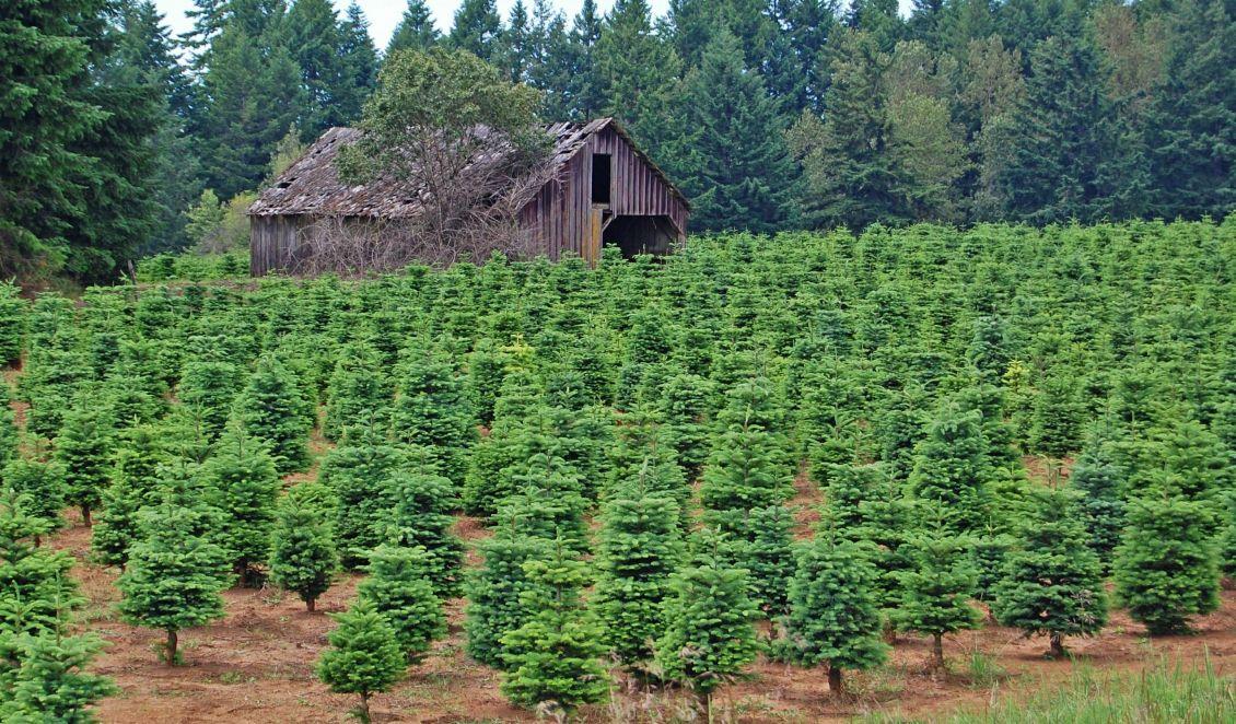 Weihnachtsbaum Herkunft.Emissionen Des Weihnachtsbaum Imports Umweltnetz Schweiz